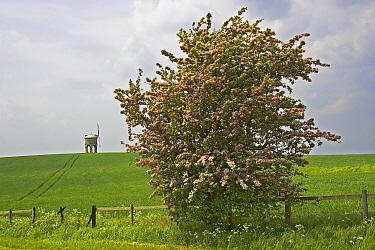 Smooth Hawthorn (Crataegus laevigata) habit, flowering, Chesterton Windmill in distance, Warwickshire, England  -  Tony Hamblin/ FLPA
