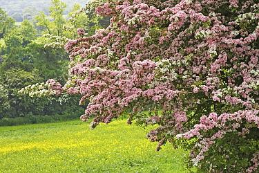Smooth Hawthorn (Crataegus laevigata) flowering in hedgerow, Warwickshire, England  -  Tony Hamblin/ FLPA