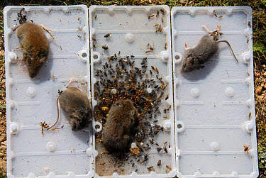 Sticky rodent trap used for household control, with dead mice and flies, Colorado  -  Chris & Tilde Stuart/ FLPA