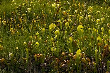 Cobra Lily (Darlingtonia californica) and California Bog Asphodel (Narthecium californicum), Klamath Mountains, California  -  Bob Gibbons/ FLPA