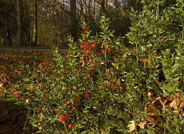 Butcher's Broom (Ruscus aculeatus) in fruit, in woodland habitat, New Forest, Hampshire, England  -  Bob Gibbons/ FLPA