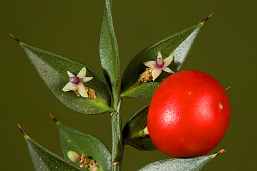 Butcher's Broom (Ruscus aculeatus) close-up of flowers, cladode modified stems and fruit, New Forest, Hampshire, England  -  Bob Gibbons/ FLPA