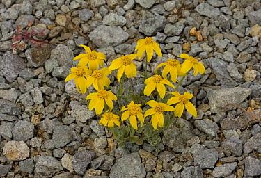 Golden Yarrow (Eriophyllum lanatum) flowering, near Winnemucca Lake, Carson Pass, Sierra Nevada, California  -  Bob Gibbons/ FLPA