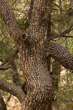 Alligator Juniper (Juniperus deppeana) trunk, Madera Canyon, Arizona  -  Bob Gibbons/ FLPA