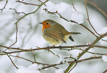 European Robin (Erithacus rubecula) adult, perched on snow covered stem, West Sussex, England  -  Roger Wilmshurst/ FLPA