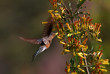 Giant Hummingbird (Patagona gigas) adult, in flight, hovering and feeding at flower, Jujuy, Argentina  -  Neil Bowman/ FLPA