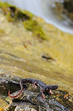 Northern Spectacled Salamander (Salamandrina perspicillata) adult, beside waterfall in stream habitat, Apennines, Italy  -  Fabio Pupin/ FLPA