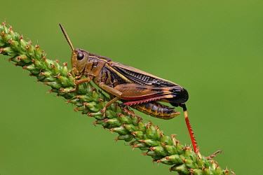 Tooth-legged Grasshopper (Arcyptera fusca) adult, resting on Greater Plantain (Plantago major), Italy  -  Gianpiero Ferrari/ FLPA