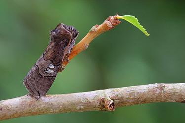 Figure of Eighty (Tethea ocularis) adult male, resting on Black Poplar (Populus nigra) with newly emerging leaves, England  -  Gianpiero Ferrari/ FLPA