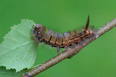 Dark Tussock (Dicallomera fascelina) caterpillar, feeding on Silver Birch (Betula pendula) leaf, England  -  Gianpiero Ferrari/ FLPA