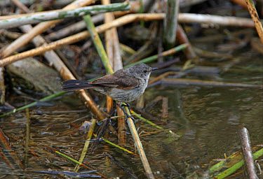 Sooty Tyrannulet (Serpophaga nigricans) adult, perched on fallen reed over water, Buenos Aires Province, Argentina  -  Neil Bowman/ FLPA
