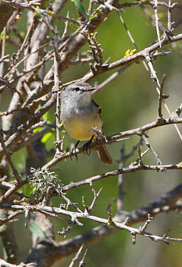 White-crested Tyrannulet (Serpophaga subcristata) adult, perched in bush, Buenos Aires Province, Argentina  -  Neil Bowman/ FLPA