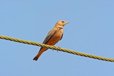Rufous-tailed Lark (Ammomanes phoenicurus) adult, perched on wire, Chorao Island, Goa, India  -  Bill Baston/ FLPA
