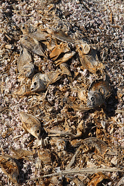 Dead fish line shore of saline lake, killed due to rising high salinity of water, Salton Sea, Salton Sink, Colorado Desert, California  -  Michael Rose/ FLPA