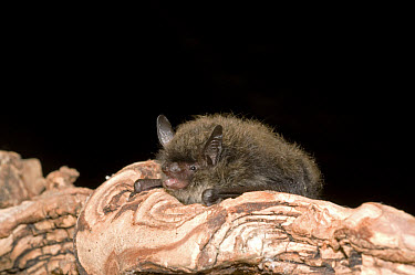 Brandt's Bat (Myotis brandtii) adult, roosting on log, England  -  Hugh Clark/ FLPA