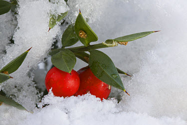 Butcher's Broom (Ruscus aculeatus) cladode modified stems and fruit, in deep snow, Dorset, England  -  Bob Gibbons/ FLPA