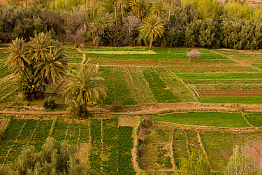 Cultivated oasis with date palms, alfalfa and peach trees in fields, Todra Valley, above Tinerhir, Morocco  -  Bob Gibbons/ FLPA