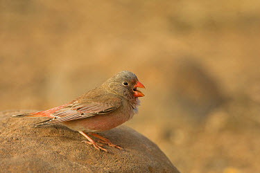 Trumpeter Finch (Rhodopechys githaginea) adult male, calling, standing on rock, Fuerteventura, Canary Islands  -  Roger Tidman/ FLPA