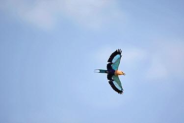 Blue-bellied Roller (Coracias cyanogaster) adult, in flight, Gambia  -  Bill Baston/ FLPA