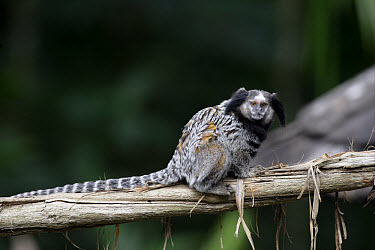 Black Tufted-ear Marmoset (Callithrix penicillata) adult, sitting on branch, Brazil  -  Mike Lane/ FLPA