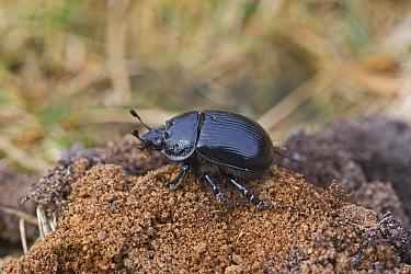 Minotaur Beetle (Typhaeus typhoeus) adult female, Norfolk, England  -  Roger Tidman/ FLPA