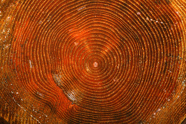 Tree log, close-up of cut end with annual growth rings, Norfolk, England  -  Mike Lane/ FLPA