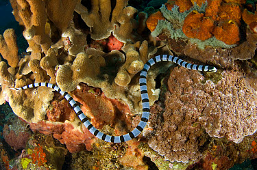 Banded Sea Krait (Laticauda colubrina) adult, on reef, Gunung Api dive site, Banda Sea, Indonesia  -  Colin Marshall/ FLPA