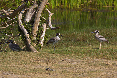Great Thick-knee, Sri Lanka, Pair  -  David Hosking/ FLPA
