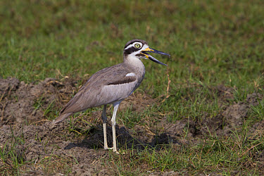 Great Thick-knee, Sri Lanka  -  David Hosking/ FLPA