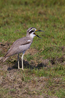 Great Thick-knee calling, Sri Lanka  -  David Hosking/ FLPA
