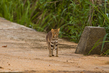 Rusty-spotted Cat (Felis rubiginosus) mother with kitten, frighten by Indian Cobra which had already killed one kitten, Sri Lanka  -  David Hosking/ FLPA