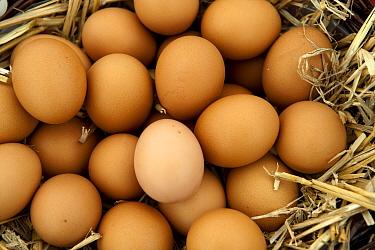 Domestic Chicken, free-range eggs in straw nestbox, Warwickshire, England  -  Wayne Hutchinson/ FLPA