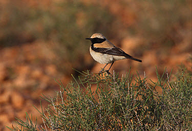 Desert Wheatear (Oenanthe deserti), North African subspecies, adult male, perched on bush in desert, Morocco  -  Neil Bowman/ FLPA