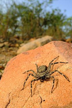 Huntsman Spider (Olios sp) adult, waiting for prey on stone, Socotra, Yemen  -  Fabio Pupin/ FLPA