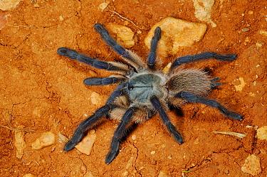 Blue Baboon Tarantula (Monocentropus balfouri) adult, on dry ground, Socotra, Yemen  -  Fabio Pupin/ FLPA