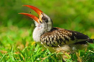 Red-billed Hornbill (Tockus erythrorhynchus) adult, feeding, tossing up and catching food in beak, Kololi, Western Gambia  -  Hugh Lansdown/ FLPA