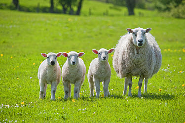 Domestic Sheep, mule ewe, with three Texel sired lambs, standing in pasture, Whitewell, Clitheroe, Lancashire, England, spring  -  John Eveson/ FLPA