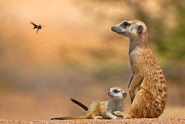 Meerkat (Suricata suricatta) adult 'baby-sitter' with young, watching Delta Wasp fly pass, Tswalu Kalahari Reserve, South Africa  -  Shem Compion/ FLPA