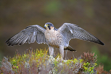 Peregrine Falcon (Falco peregrinus) adult, wings outstretched, standing amongst heather, captive, Scotland  -  Malcolm Schuyl/ FLPA
