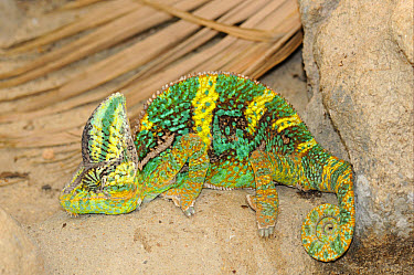 Veiled Chameleon (Chamaeleo calyptratus) adult, captive  -  Malcolm Schuyl/ FLPA