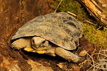African Pancake Tortoise (Malacochersus tornieri) adult, captive  -  Malcolm Schuyl/ FLPA