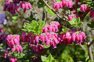 Menziesia (Menziesia ciliicalyx) close-up of flowers, in garden, England  -  Gary K Smith/ FLPA