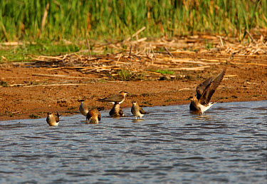Black-winged Pratincole (Glareola nordmanni) flock, bathing at lake shore, Aqmola Province, Kazakhstan  -  Neil Bowman/ FLPA