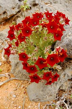 Caralluma (Caralluma sp) flowering, flowers stink of rotten flesh, Socotra, Yemen  -  Fabio Pupin/ FLPA