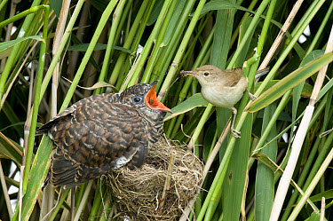 Common Cuckoo (Cuculus canorus) chick, fed by Eurasian Reed-warbler (Acrocephalus scirpaceus) adult, at nest, Sussex, England  -  Derek Middleton/ FLPA