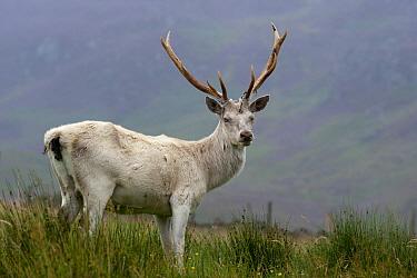 Red Deer (Cervus elaphus) stag, albino, standing on moorland, Perthshire, Scotland  -  Wayne Hutchinson/ FLPA