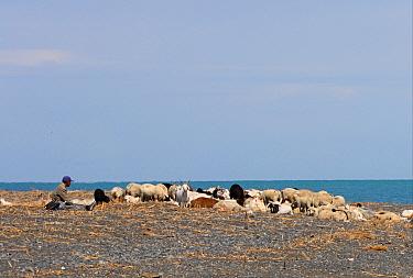 Domestic Sheep, with Domestic Goat, flock with shepherd, resting on lakeshore, Lake Alakol, Kazakhstan, june  -  Neil Bowman/ FLPA