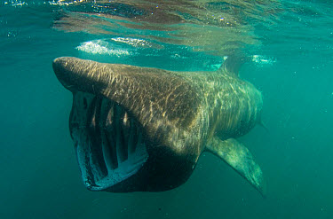 Basking Shark (Cetorhinus maximus) adult, feeding just below surface, mouth open showing gill rakers, Cornwall, England  -  Colin Munro/ FLPA