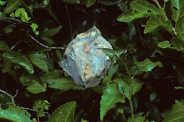 Rain Spider (Palystes castaneus) egg sac, suspended in nursery web, South Africa  -  Peggy Heard/ FLPA