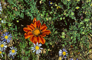 Terracotta Gazania (Gazania krebsiana) flowering, Skilpad Nature Reserve, Namaqualand, South Africa  -  Peggy Heard/ FLPA